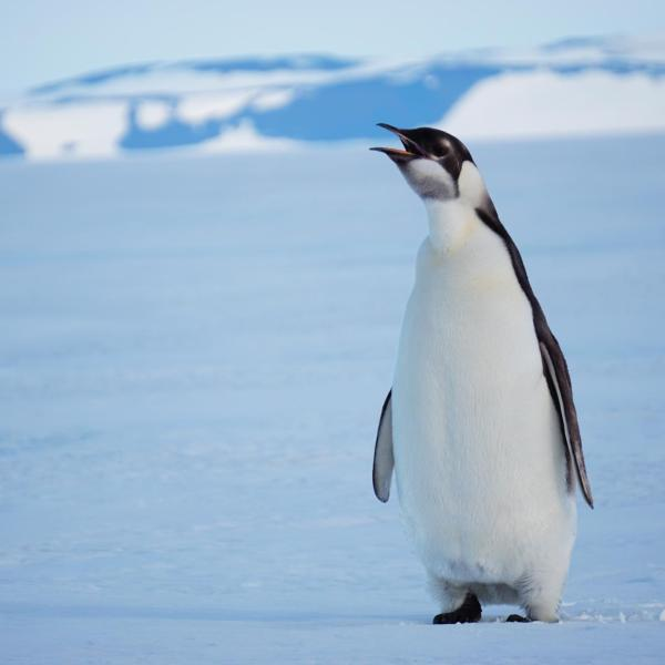 Young and curious emperor penguin out on the Ross Ice Shelf near the airfield.