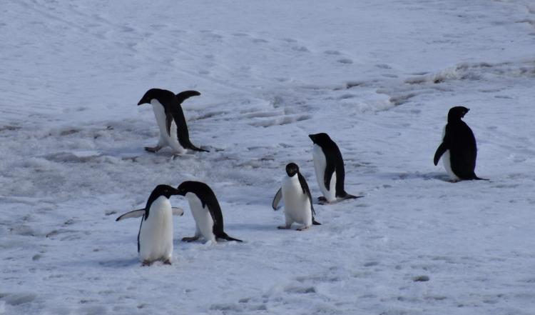 Penguins really do just waddle around and slide on their bellies.