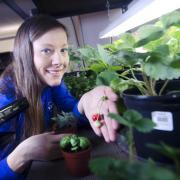 Heather Hava with strawberry plants.