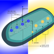 Biomolecular model based on the gene expression data analyses support the reduction of glucose molecules (blue gradient) and acid buildup (gold gradient) proposed to occur in the boundary layer around the cell.
