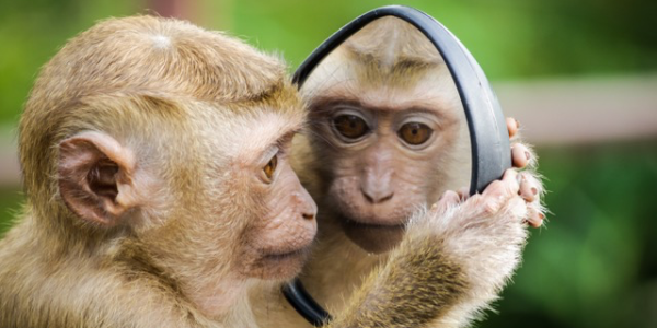 Primate looking at himself in a mirror