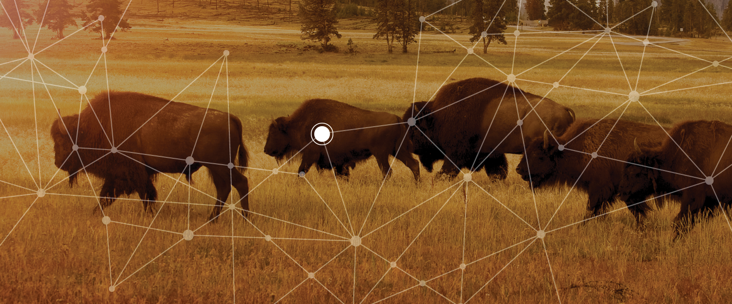 Field of Buffalo with a web graphic overlaid