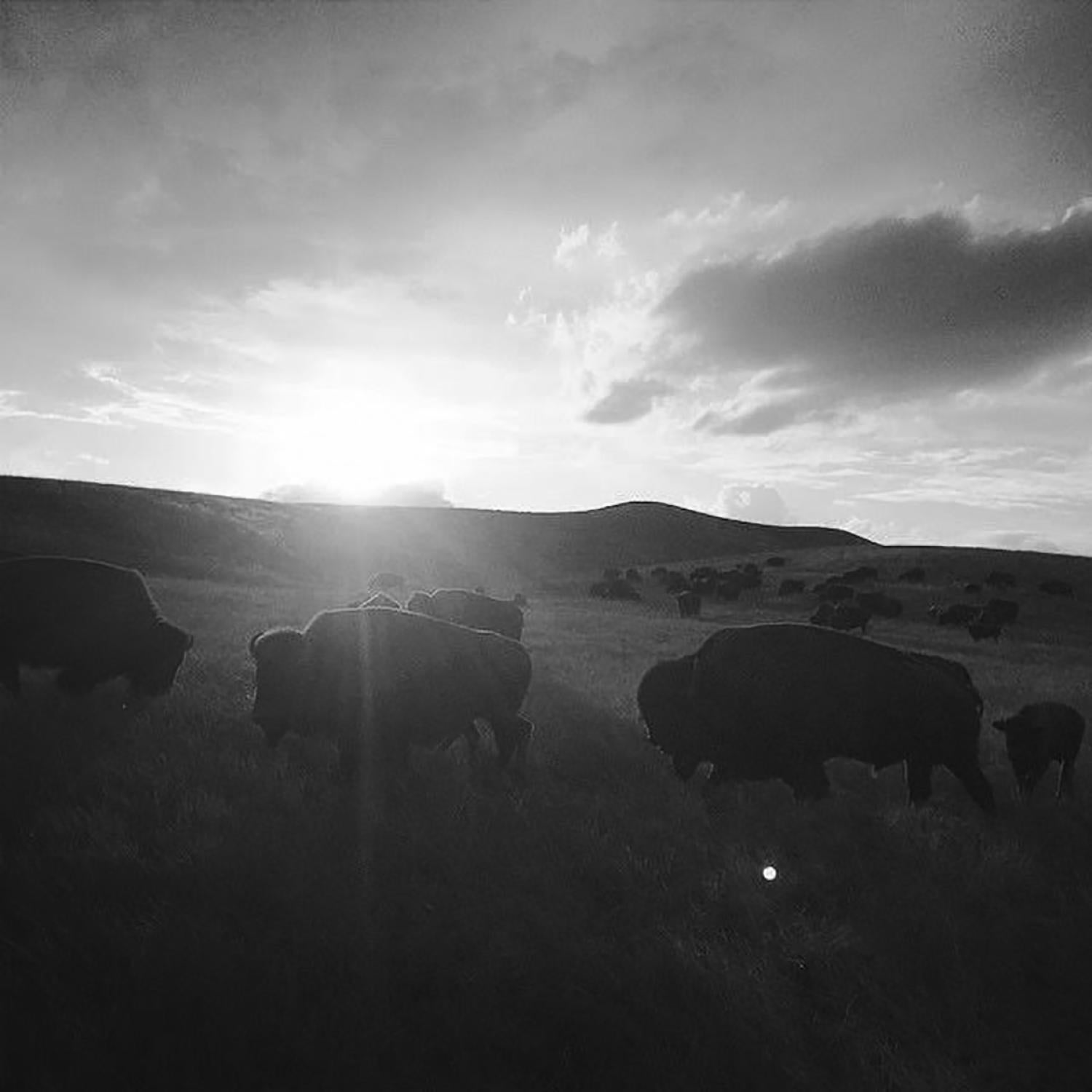 Bison walking up a hill