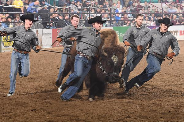 Ralphie's handlers run with her in a rodeo arena