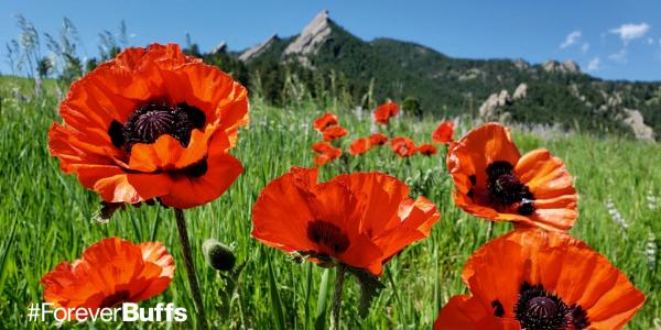 poppies in front of the flatirons