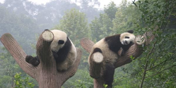 pandas in a tree in Chengdu, China