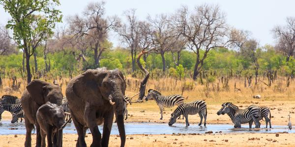 elephants and zebras at a waterhole in Africa