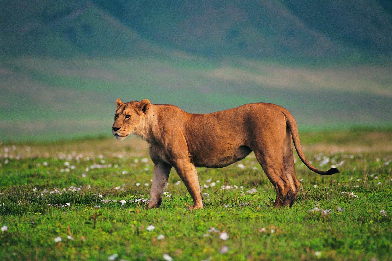 tanzanian lion