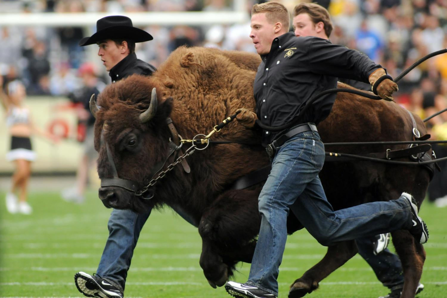 ralphie running at a cu football game