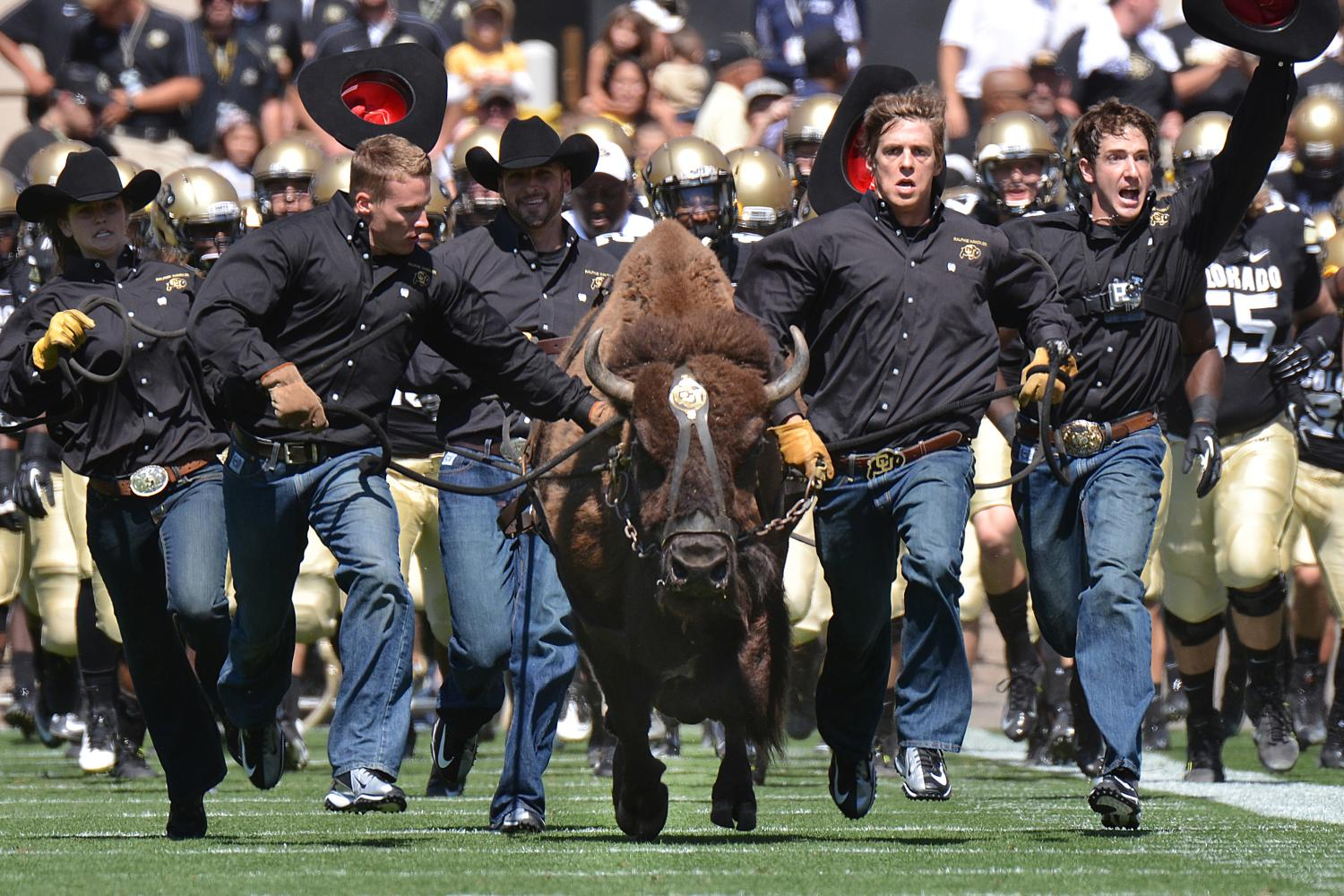 Ralphie leads the Buffs onto the field before a home game.