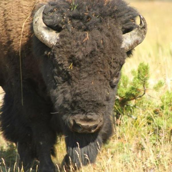 Ralphie look-a-like found by Anseth group at Yellowstone