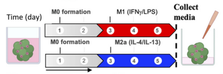 MSC-macrophage-microgels