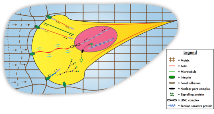 Mechanotransduction schematic