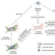 Quiescent fibroblasts activate to transient myofibroblasts on stiff matrices.