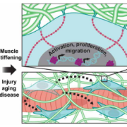 Muscle stiffening induces YAP/TAZ localization