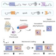 Deformation hydrazone-chondrocyte