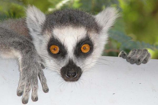 Baby Catta monkey