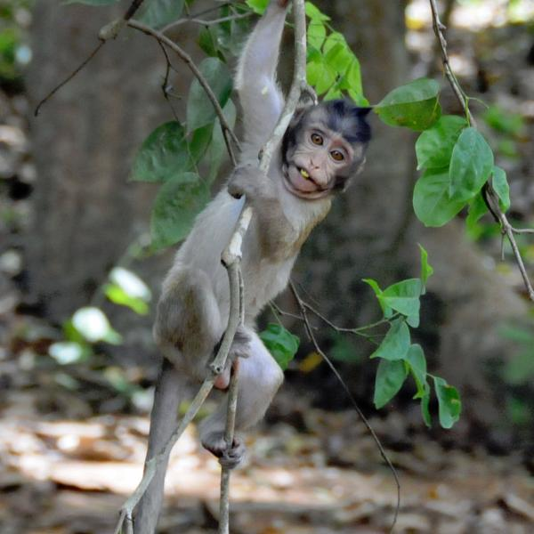 Baby macaque with a lotus seed in its mouth