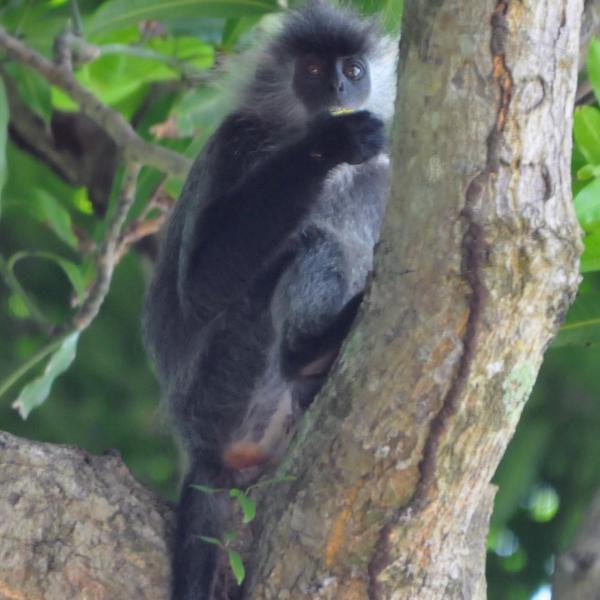 Leaf monkey in tree