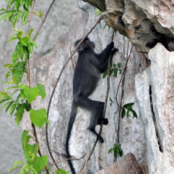 Leaf monkey climbing