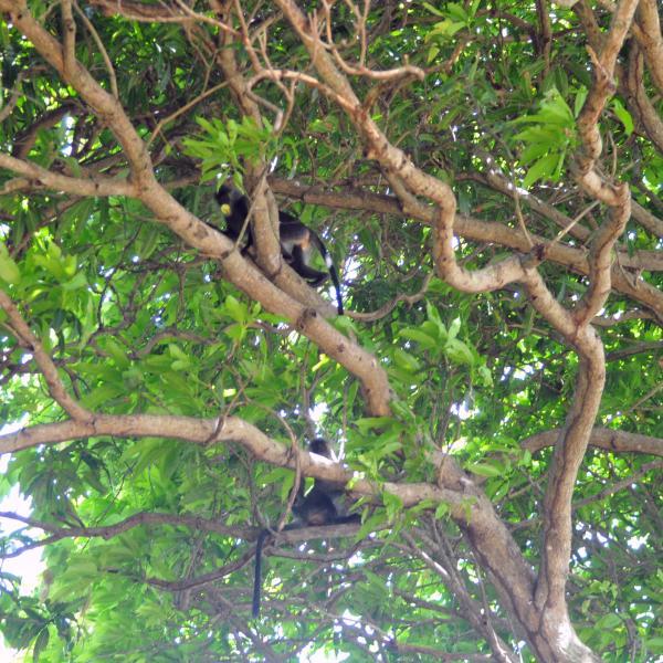 Leaf monkeys climbing tree branches