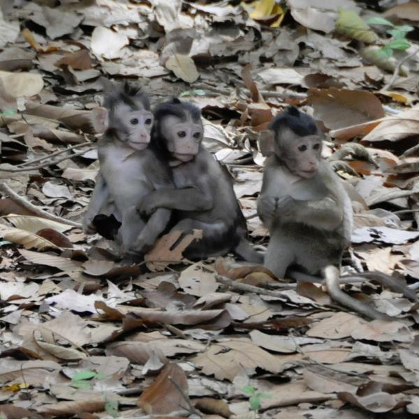 Macaque play group