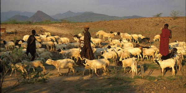 Maasai herders in Africa with livestock