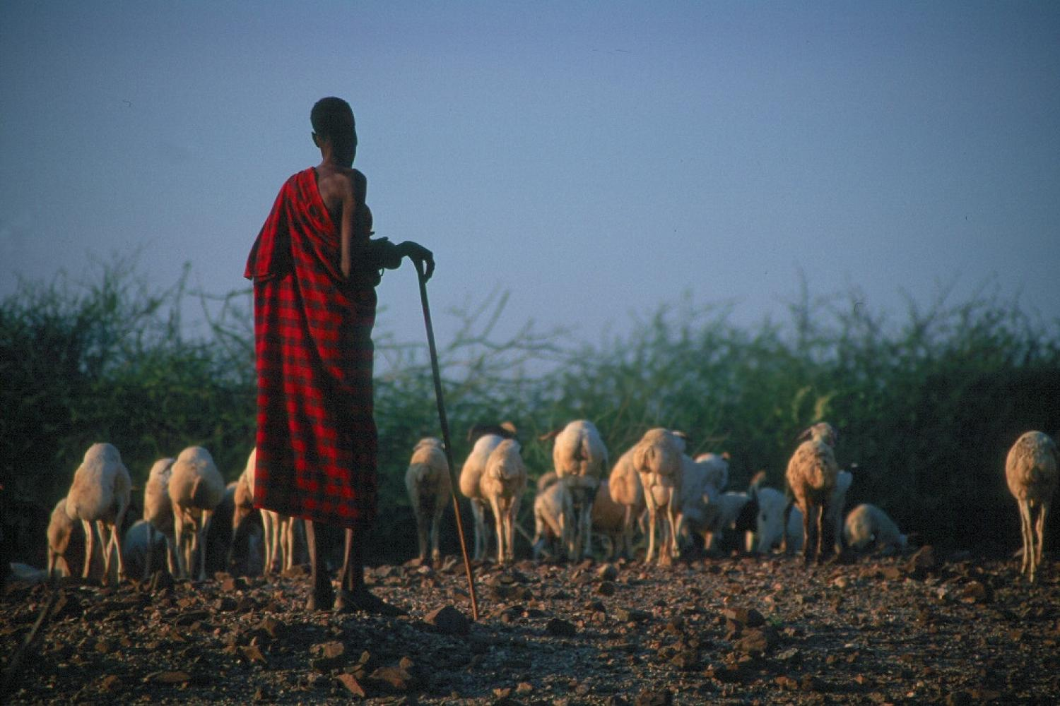 African Shepherd