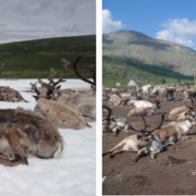 Domestic reindeer in northern Mongolia