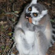 Lemur chewing on something