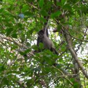 Spyder Monkey