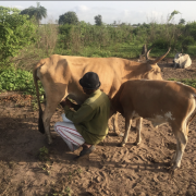 Herdsman milking cow in the morning with her weaning calf nearby (The Gambia, 2016)