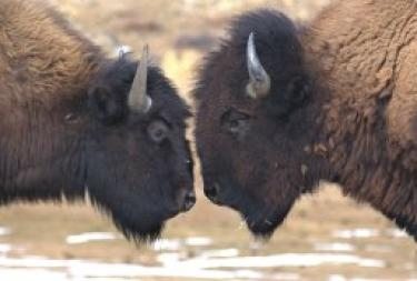 Two buffalo butting heads at watering hole
