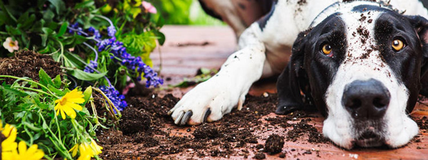 Stock photo of a dog and a tipped over flower pot