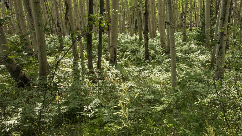 Bracken fern beneath aspen