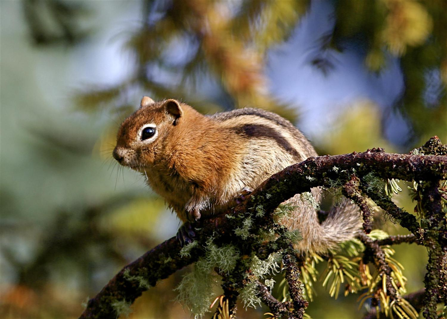 Golden-mantled ground squirrels sound an alarm call that warns not only squirrels but marmots as well