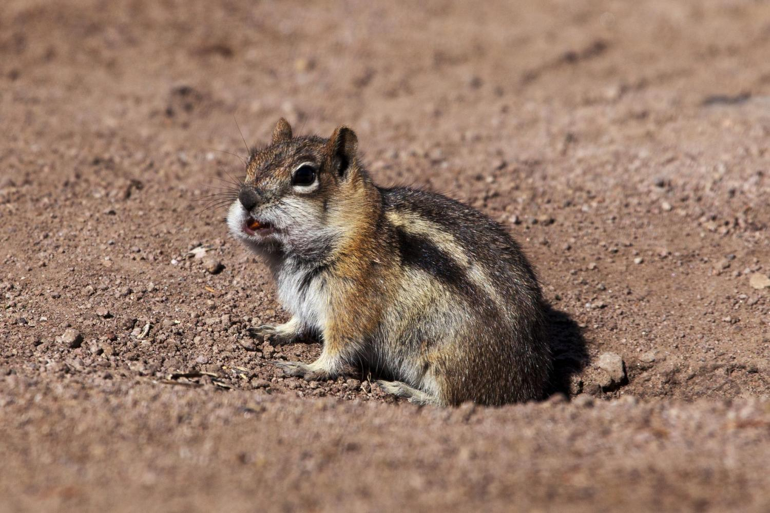 When ground squirrels need to transport food to their burrow, they fill up their cheek pouches, leaving their legs free for climbing and running.