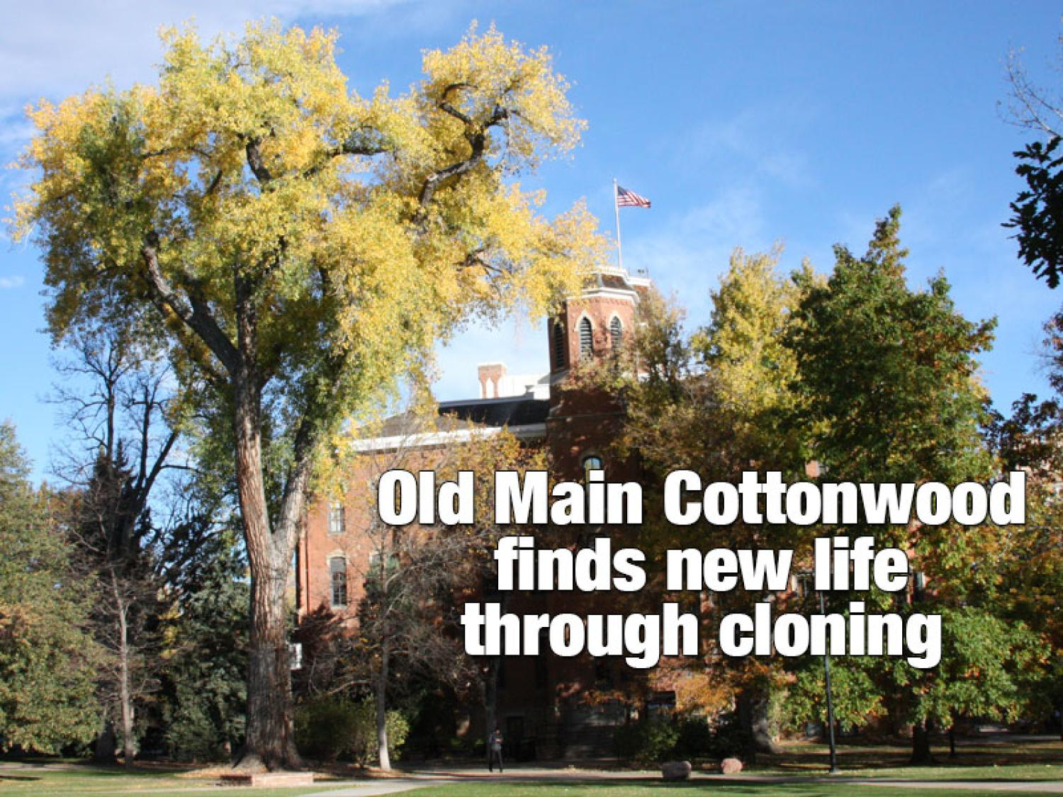 Old Main Cottonwood in front of Old Main