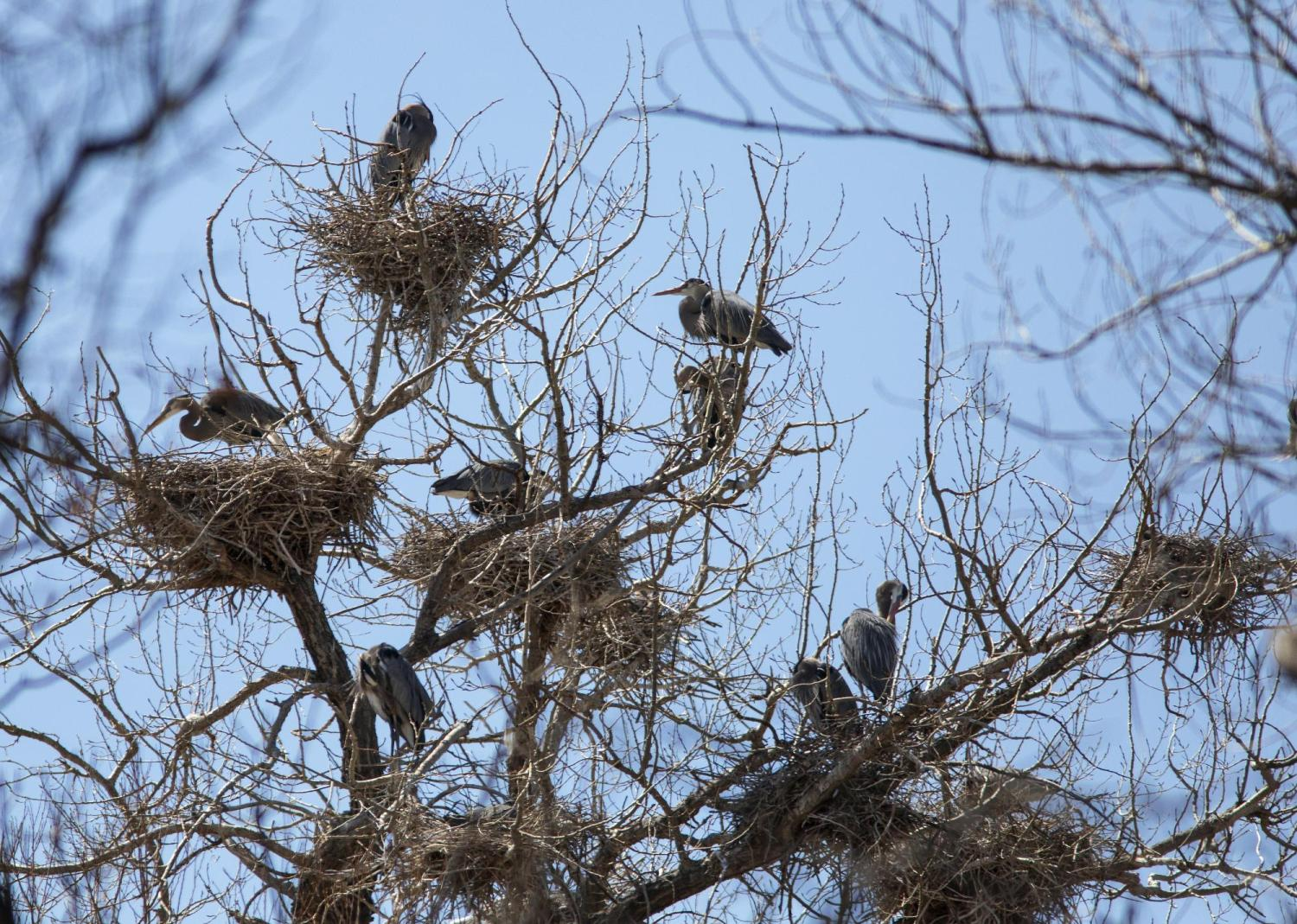 Living in a heronry involves many close neighbors. Photo by Jeff Mitton.