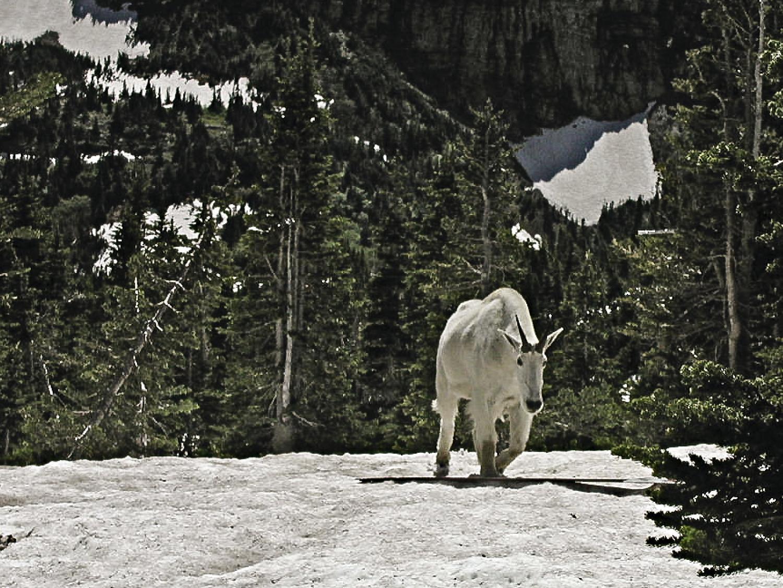 A mountain goat walks among the trees