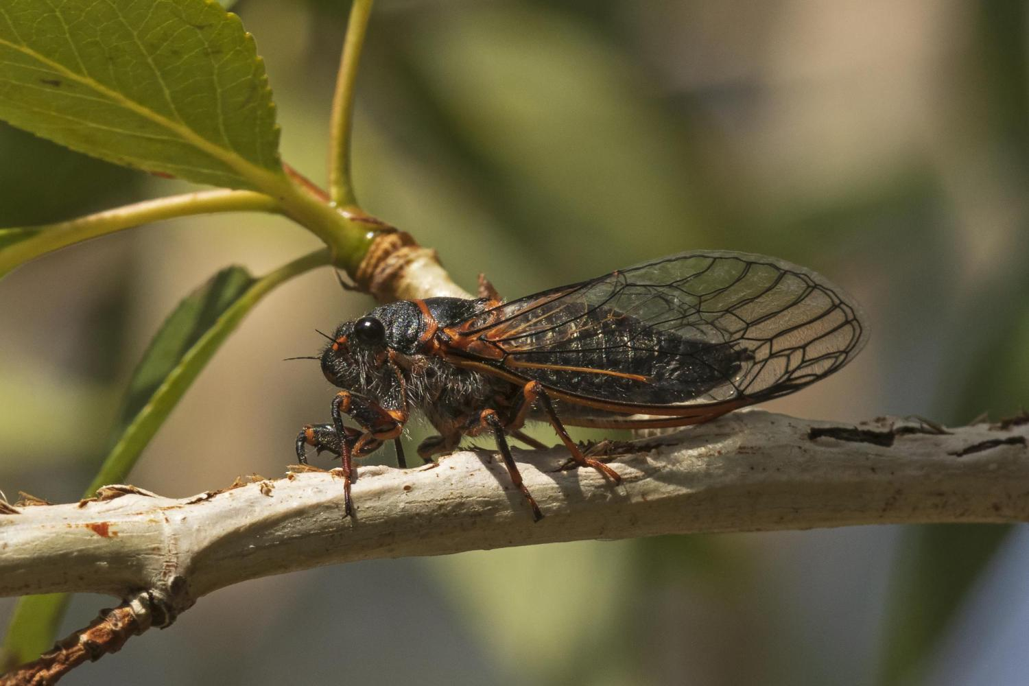A Putnam's cicada calls from a cottonwood twig cut numerous times to insert eggs below the bark