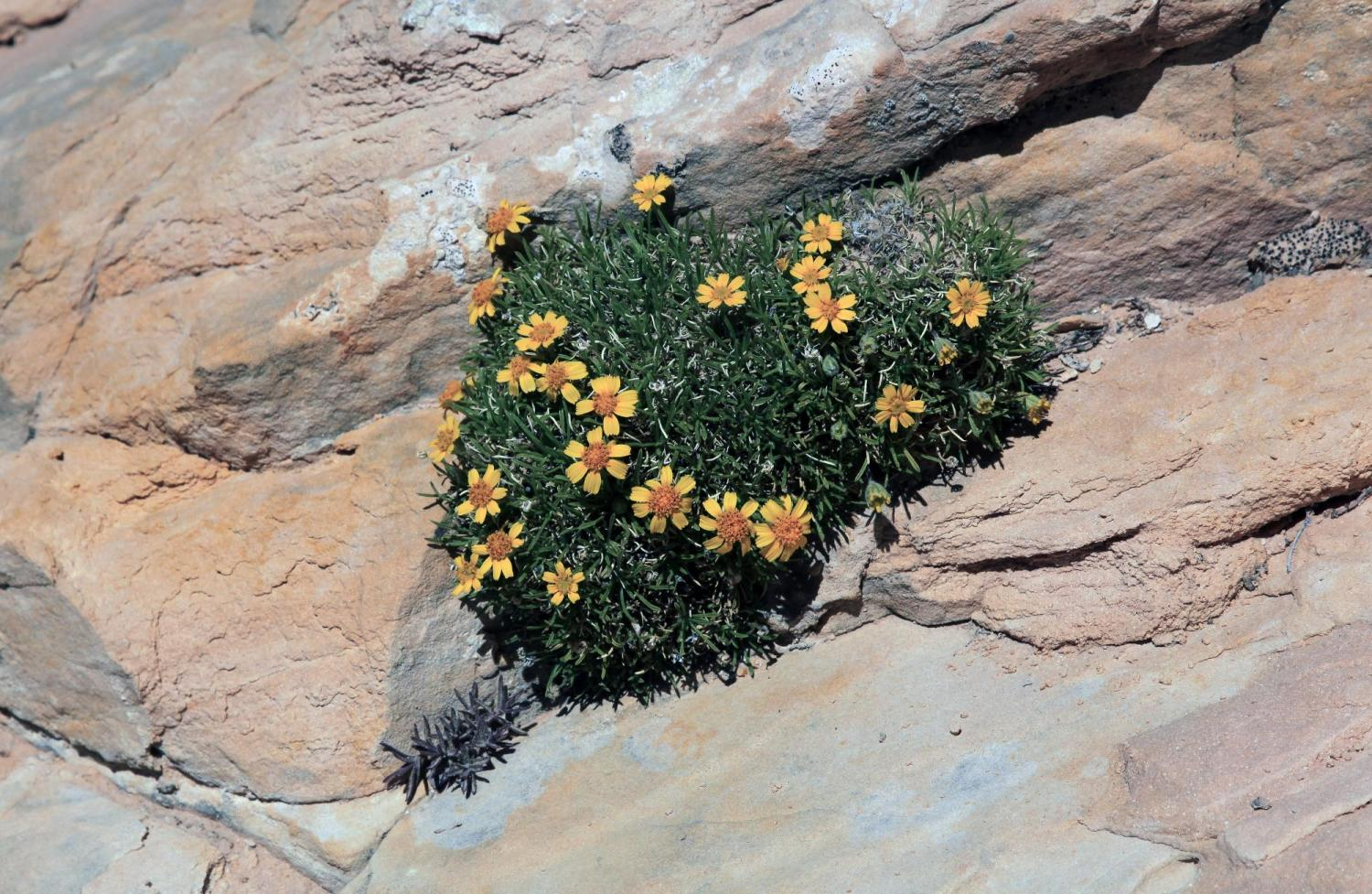 A stemless four-nerve daisy growing from a sandstone crevice