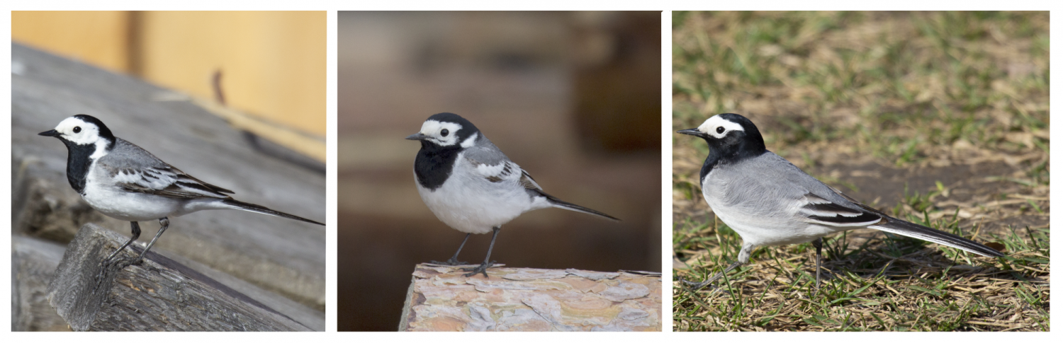 Different subspecies of wagtails
