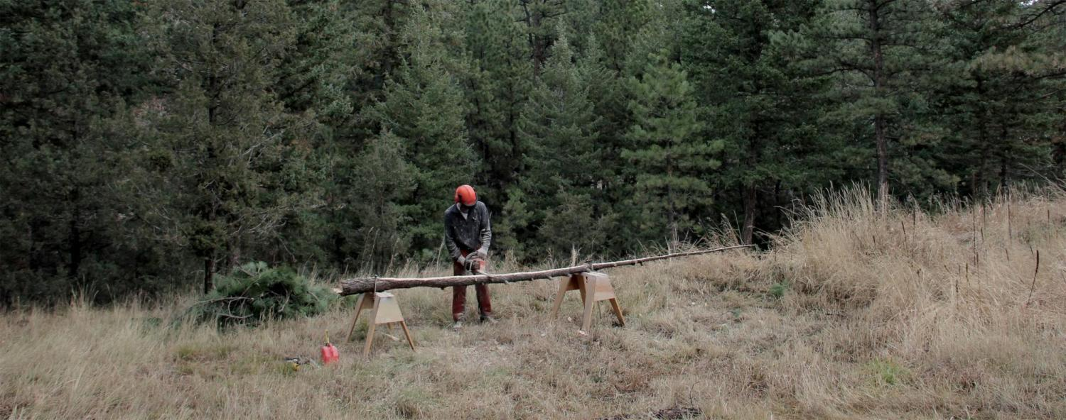 Welby cutting a spruce tree