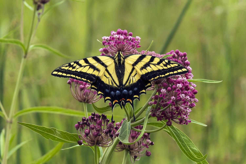 Swallowtail milkweeds