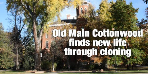 Old Main cottonwood