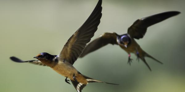 Colorado barn swallow pair in flight. Photo by Matthew R Wilkins.