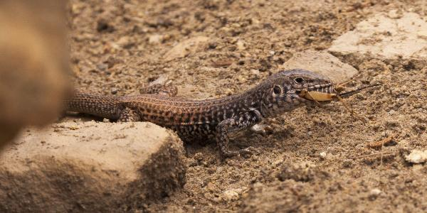 Plateau Tiger Whiptail