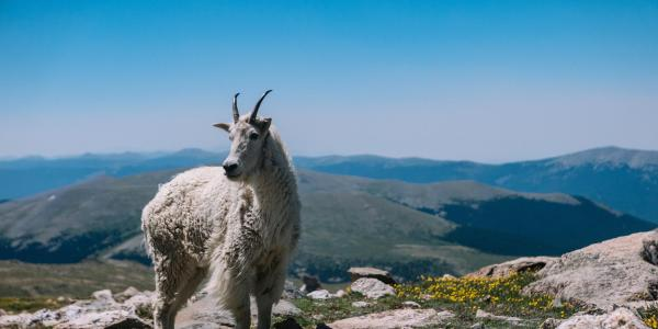 Mountain goat in the Rockies.