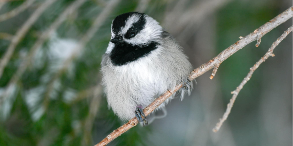A chickadee bird perched on a branch